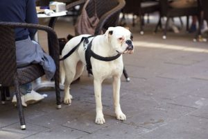 white boxer standing at a restaurant patio table