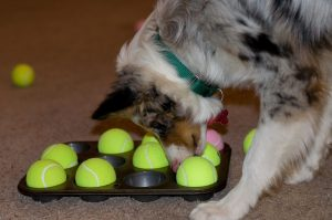 merle colored dog finding treats under tennis balls inside muffin tin cups