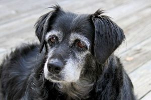 senior black dog with a graying face