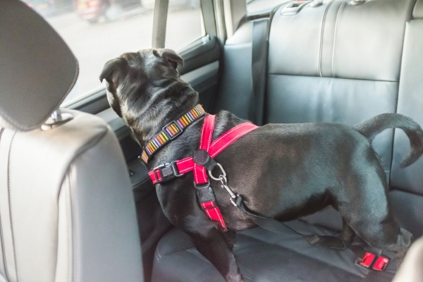 black dog in the backseat of a car, wearing a harness that is buckled into the seatbelt
