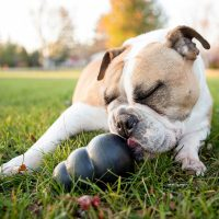 bulldog chewing on a stuffed Kong toy